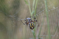 Wasp spider (Argiope bruennichi) wrapping its prey