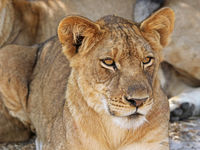 young lion in Zambia