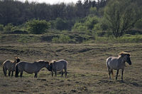 Konik - Hengst und Stuten stehen auf einem Magerrasenareal - (Waldtarpan-Rueckzuechtung) / Heck Horse stallion and mares standing on a neglected grassland area - (Tarpan-breeding back) / Equus ferus caballus - Equus ferus ferus