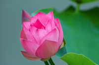 A view of lotus flower and bud in pond