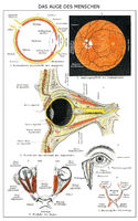 Historic anatomical illustration, 19th century, human Eye,