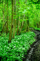 original green forest with wild garlic in spring i