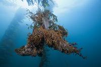 Wurzeln von Riesentang, San Benito Island
