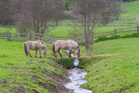 2 Tarpan horses crossing a small brook