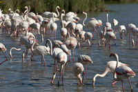 A flock of Greater Flamingos
