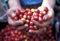 LATIN AMERICA GUATEMALA COFFEE