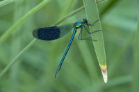Male of Banded Demoiselle damselfly