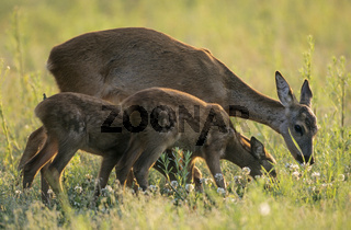 Ricke und Rehkitze aesen auf einer Waldwiese - (Reh - Europaeisches Reh) / Roe Deer doe and fawns grazing in a forest meadow - (European Roe Deer - Western Roe Deer) / Capreolus capreolus