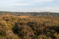 Looking out over Dutch heathland area in the fall