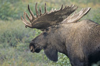 Bull Moose in portrait with velvet antler