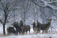 Red Deer hinds and calfs in winter at forest edge