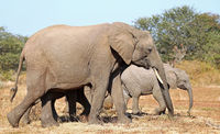 african elephants, south africa, wildlife
