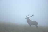 Red Deer hart in morning fog