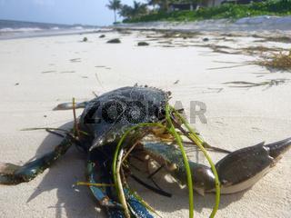Krabbe am Strand