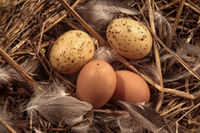 Domestic eggs in straw with feathers