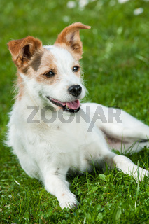 Terrier in Blumenwiese