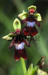Fliegen-Ragwurz Ophrys insectifera