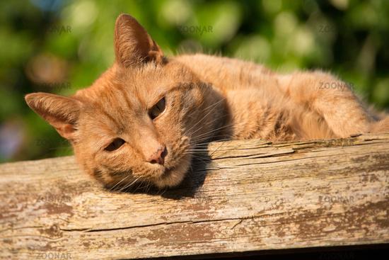 Ginger tomcat