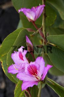Blüten des Orchideenbaums (Bauhinia variegata)
