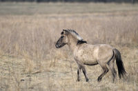 Heck Horse stallion one year old crossing a meadow