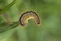 Brightly lored Mountain Lackey caterpillar