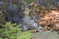 Wildkatze (Felis silvestris) trägt Jungtier, captive, Bayern, De