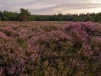 View of heathland field