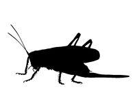 Grashüpfer - Grasshopper on white