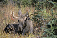 Young bull Moose resting in the tundra