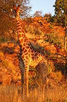 red evening light on giraffe in south africa