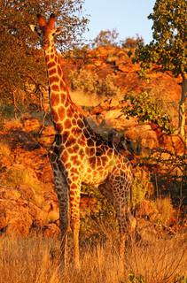 Rotes Abendlicht auf Giraffe, Südafrika, Mapungubwe-Nationalpark; red evening light on giraffe in south africa, Mapungubwe National Park