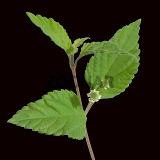 Aztekisches Suesskraut, Lippia dulcis,