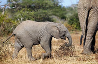 young african elephant south africa, wildlife