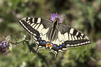 Papilio machaon, European Swallowtail from Italy
