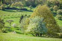 Spring trees in the Taunus mountains