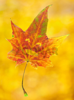 Smiling maple leaf
