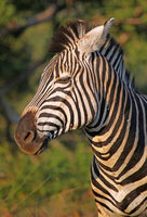 tired Plains Zebra, South Africa