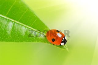 Ladybird on a green leaf.