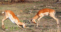 Fighting Impalas, South Africa