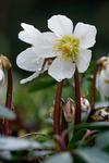 Christrose, Helleborus niger,  Nieswurz, Schneerose