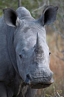 young white rhinoceros, South Africa