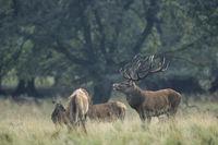 Red Deer stag flehm between hinds