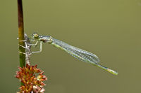 Newly hatched male of Azure Damselfly