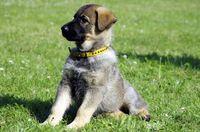 Deutscher Schaeferhund / Welpe