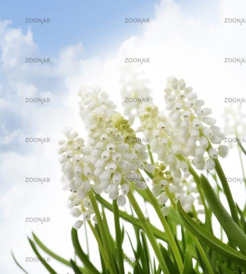 White Muscari Flowers