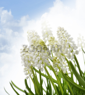 White Muscari Flowers