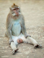 Male monkey funny sitting on ground. Macaque crabeater from Bali.