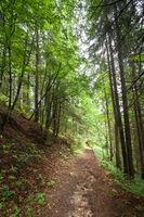 Trekking trail leading through summer landscape of pine tree highland forest at Carpathian mountains. Ukraine destinations travel background