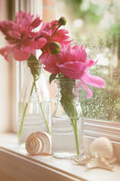 Closeup of peony flowers in milk bottles in the wi