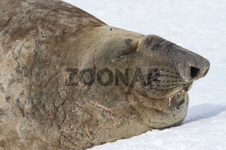 Portrait of a southern elephant seal with closed eyes